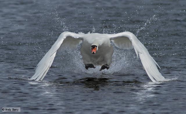 Swan 016 عکس های بسیار زیبا از قو های دوست داشتنی