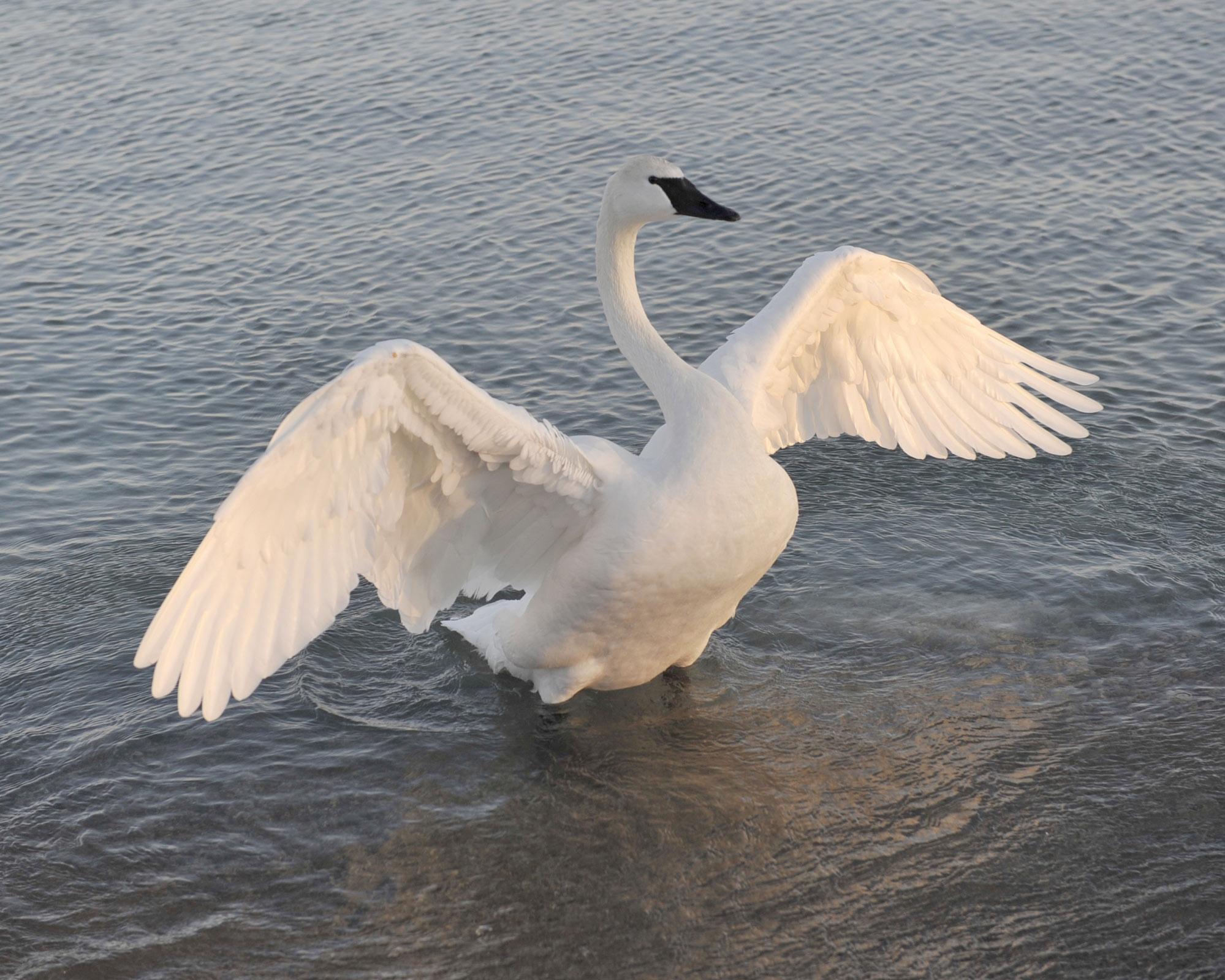 Swan 017 عکس های بسیار زیبا از قو های دوست داشتنی
