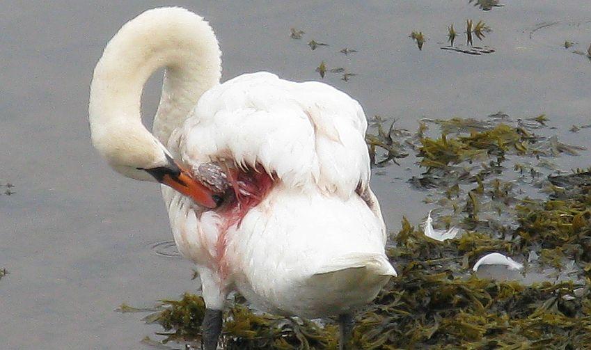 Swan 018 عکس های بسیار زیبا از قو های دوست داشتنی