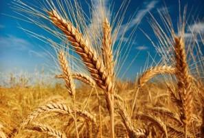 گندم Wheat