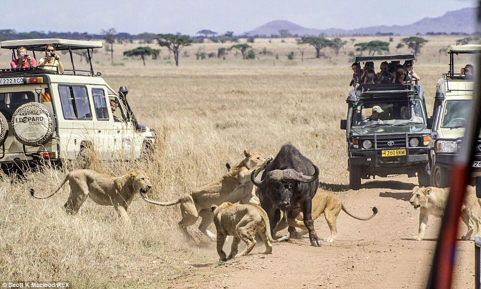 شکار گله شیر در حضور گردشگران