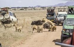 شکار گله شیر در حضور گردشگران عکاس