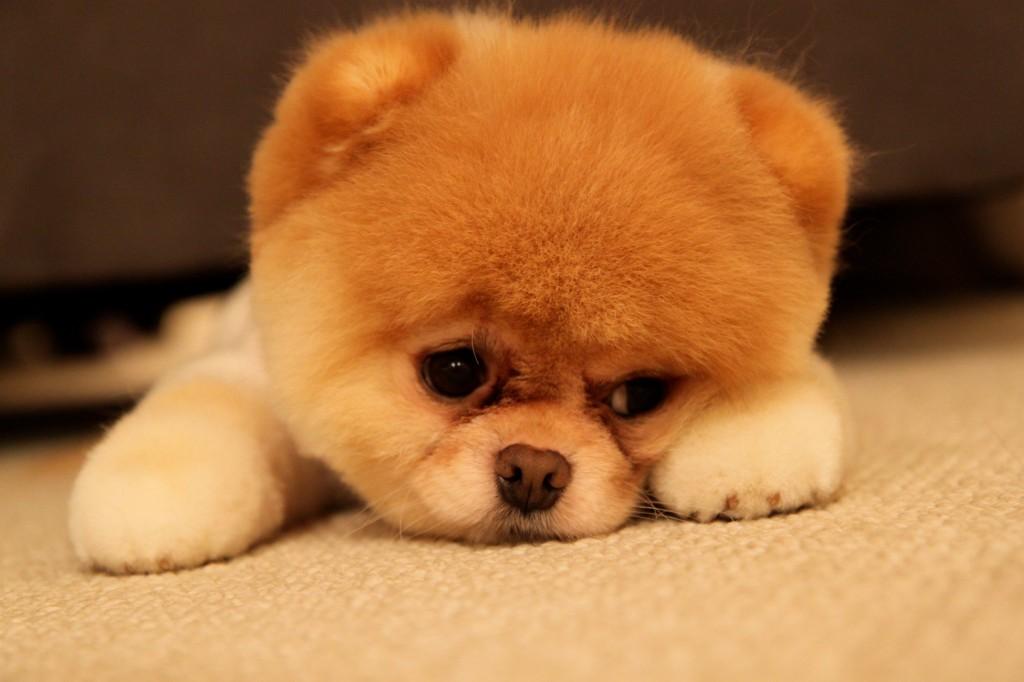 Boo Cutest Dog pictures yt 01 1024x682 عکس های سگ عروسکی فوق العاده زیبا