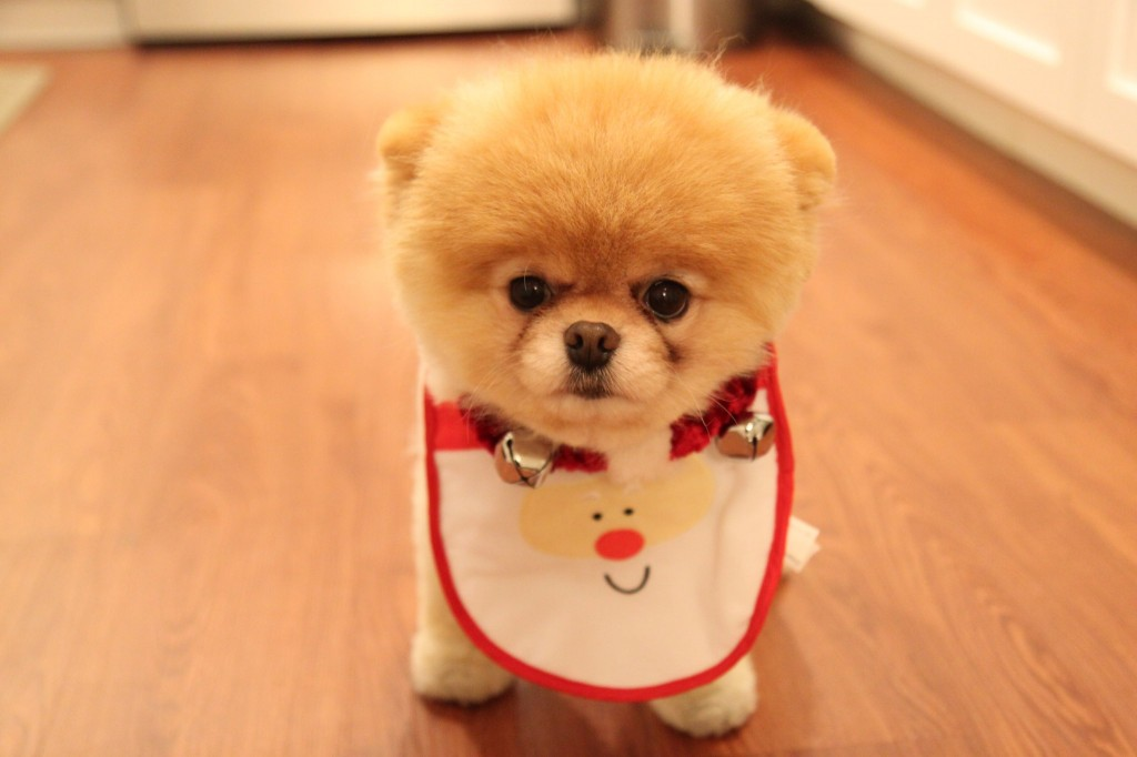 Boo Cutest Dog pictures yt 03 1024x682 عکس های سگ عروسکی فوق العاده زیبا