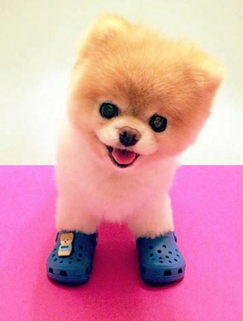Boo Cutest Dog pictures yt 05 777x1024 عکس های سگ عروسکی فوق العاده زیبا