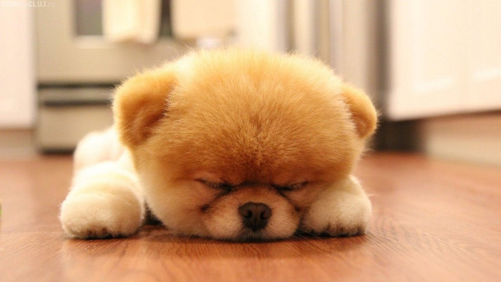 Boo Cutest Dog pictures yt 08 1024x577 عکس های سگ عروسکی فوق العاده زیبا