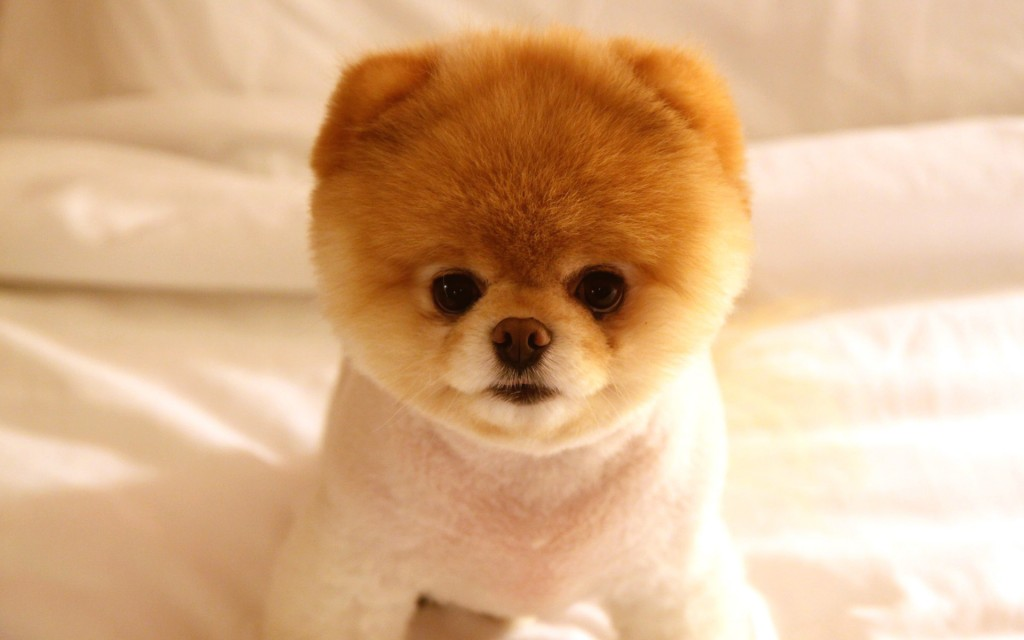 Boo Cutest Dog pictures yt 11 1024x640 عکس های سگ عروسکی فوق العاده زیبا