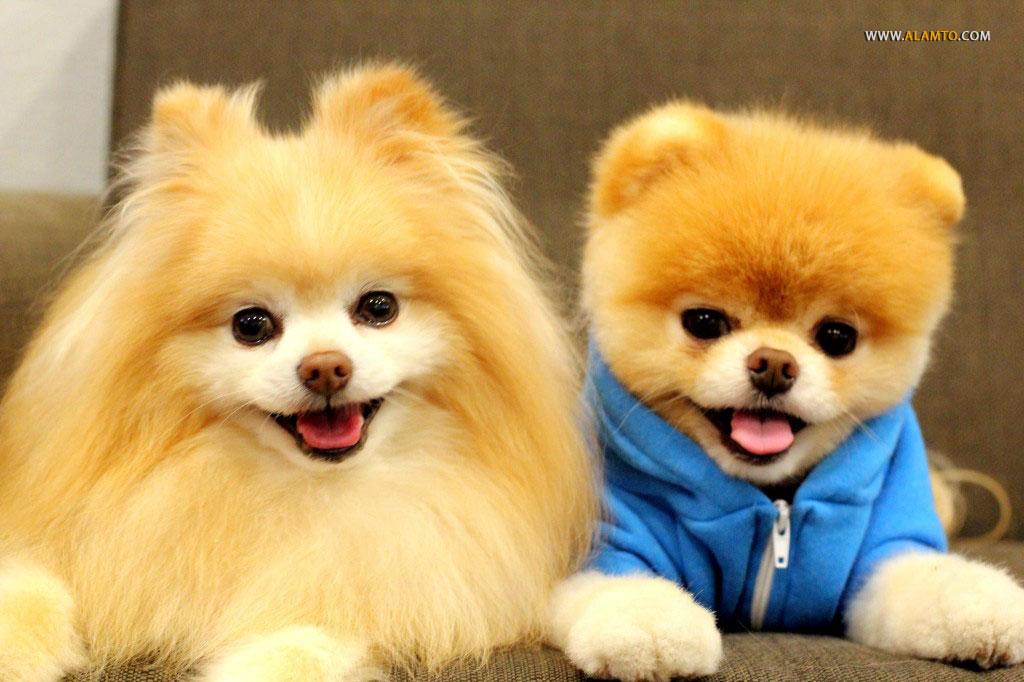 عکس سگ های عروسکی