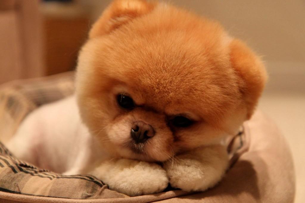 Boo Cutest Dog pictures yt 14 1024x682 عکس های سگ عروسکی فوق العاده زیبا