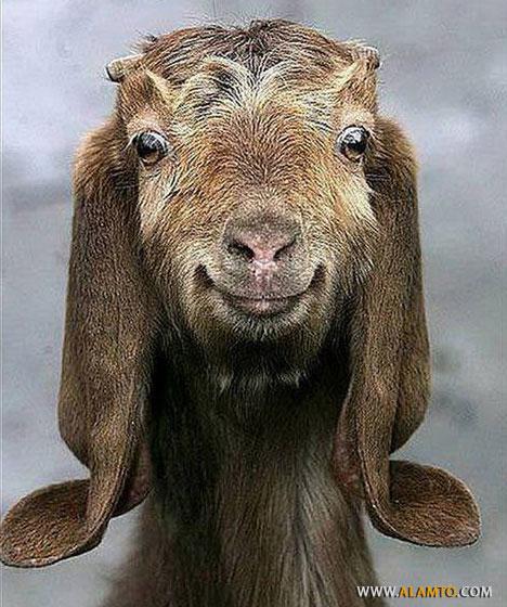 Funny-Goat-01