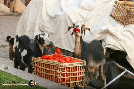 Funny-Goat-04-570x379