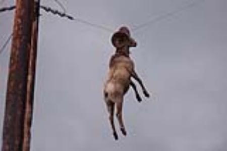 Funny-Goat-06