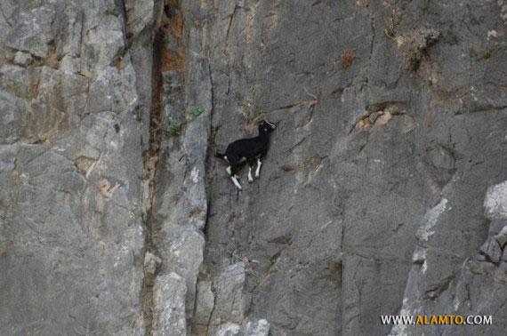 Funny-Goat-08-570x378