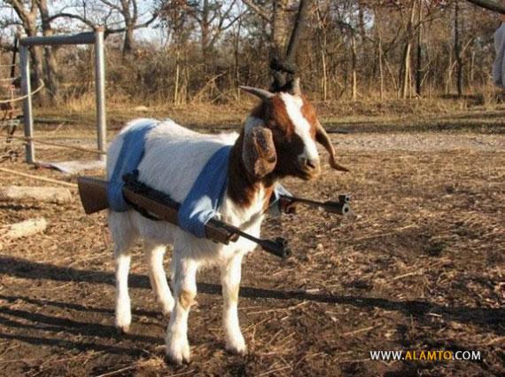 Funny-Goat-10-570x425