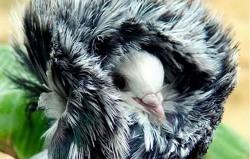 فشن ترین کبوترهای دنیا +عکس