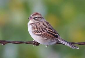گنجشک Sparrow