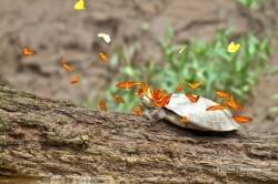 پروانه هایی که اشک لاک پشت می نوشند +عکس