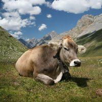 تعبیر دیدن گاو در خواب