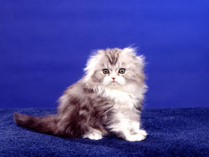 Funny Cat 0021 گربه های ناز پشمالو / عکس