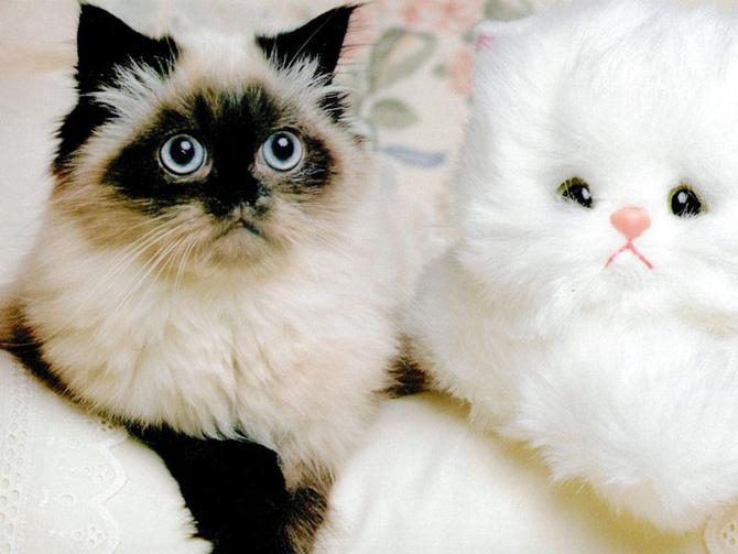Funny Cat 0031 گربه های ناز پشمالو / عکس