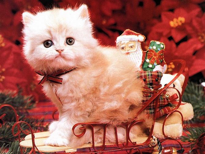 Funny Cat 0041 گربه های ناز پشمالو / عکس