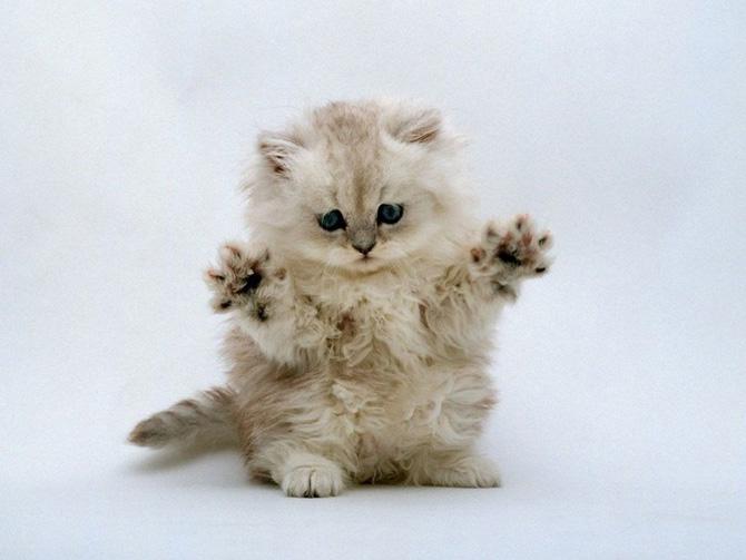 Funny Cat 0071 گربه های ناز پشمالو / عکس
