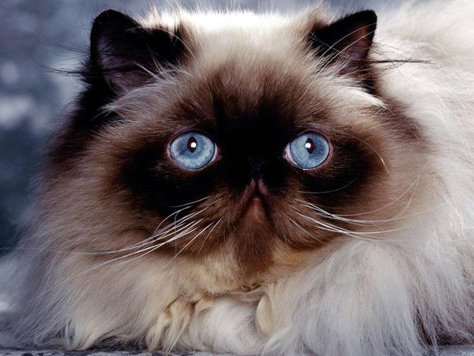 Funny Cat 0091 گربه های ناز پشمالو / عکس