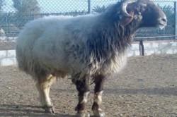 گوسفندی که گرانتر از پورشه فروخته شد!+ عکس