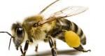 محصولات شگفت انگیز زنبورهای عسل