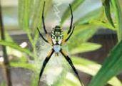 5 عنکبوت ترسناک در دنیا +عکس