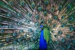 """شهری که """"طاووس"""" پرنده خیابانیش است!+عکس"""
