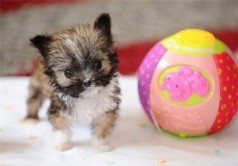 سگ 4 اینچی کوچکترین سگ انگلیس+عکس