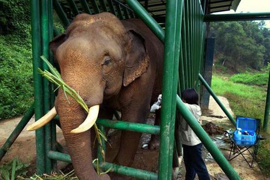 گرانترین قهوه دنیا از مدفوع فیل