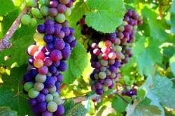 انگورهای رنگین کمانی، واقعیت یا فتوشاپ؟ +عکس