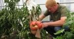 بزرگترین گوجه فرنگی دنیا +عکس