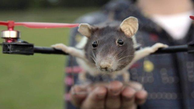 flying-rat