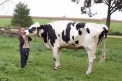 بلندقدترین گاو جهان + عکس