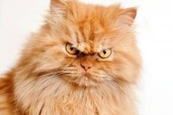 با اخموترین گربه دنیا آشنا شوید+عکس
