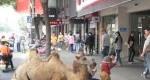 روشی عجیب برای گدایی در چین؛استفاده از شتر +عکس