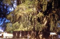 درختی با تنه ای 36 متری + عکس