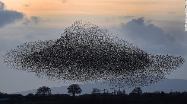 پرواز دسته جمعی پرندگان