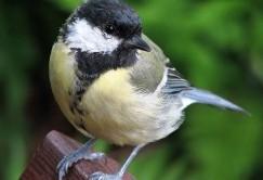 پرندهای که مغز دیگر پرندگان را میخورد!+عکس
