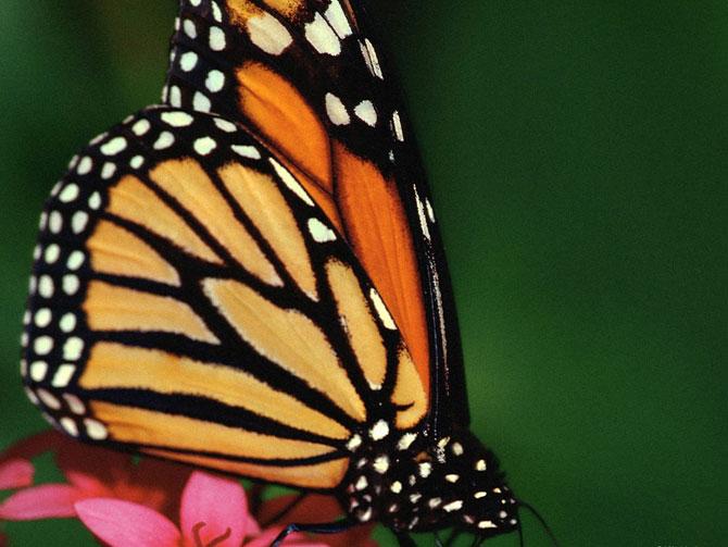 buterfly beautiful photo gallery 6 3 عکسهای جدید پروانه - تصویر پروانه