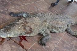 کشته شدن بازیکن گلف توسط تمساح 4 متری+عکس