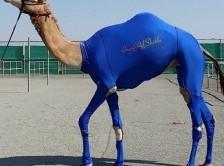 لباس ورزشی برای شترها در امارات+عکس