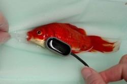 """جراحی چند صد دلاری """"ماهی قرمز"""" مبتلا به یبوست! + عکس"""