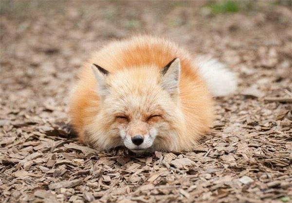 اقامتگاه روباهان در ژاپن عکس روباه