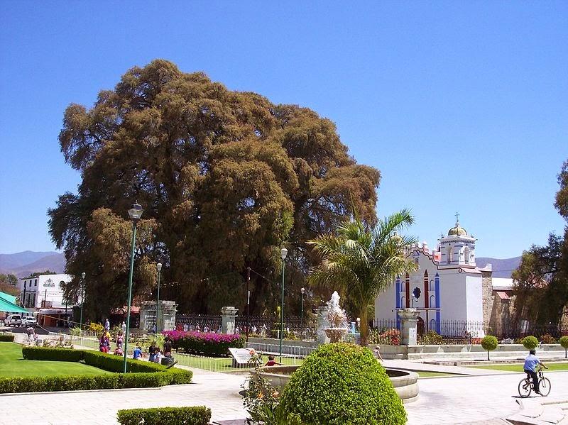 درخت کهنسال تول در مکزیک + تصاویر