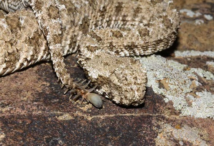 Spider-tailed-viper
