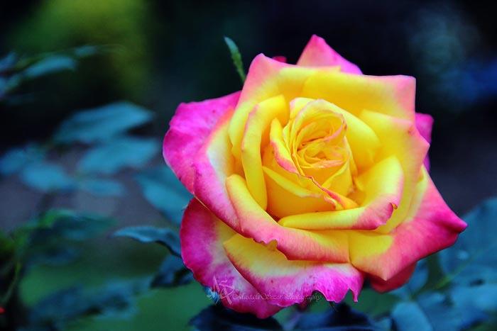عكس گلهاي ناز و زيبا،عكس گلهاي جذاب و ديدني